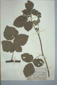 Rubus nemorosus herbarium specimen from Llangefni, VC52 Anglesey in 1886 by Mr John Edwards Griffith.