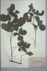 Rubus conjungens herbarium specimen from Mill Hayes, VC39 Staffordshire in 1891 by Rev William Hunt Painter.