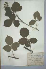 Rubus conjungens herbarium specimen from Saint Weonards, VC36 Herefordshire in 1885 by Rev. Augustin Ley.