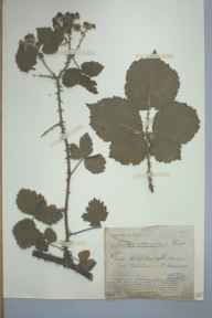 Rubus tuberculatus herbarium specimen from Berrow, VC6 North Somerset in 1885 by Mr James Walter White.