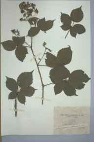 Rubus rubriflorus herbarium specimen from Shirley, VC57 Derbyshire by Rev William Richardson Linton.