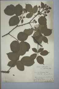 Rubus calvatus herbarium specimen from Lawn Hill, VC40 Shropshire in 1896 by Richard de Gylpyn Benson.