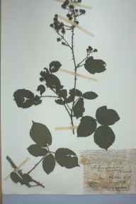 Rubus egregius herbarium specimen from Walton, VC59 South Lancashire in 1899 by Mr James Alfred Wheldon.