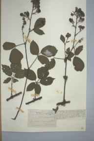 Rubus villicaulis herbarium specimen from Minworth, VC38 Warwickshire in 1893 by Mr James Eustace Bagnall.
