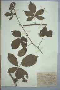 Rubus macrophyllus var. schlechtendalii herbarium specimen from Spinneyford Brook, VC57 Derbyshire in 1894 by Rev William Richardson Linton.