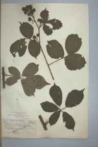 Rubus macrophyllus var. schlechtendalii herbarium specimen from Knockdrin, VCH23 Westmeath in 1895 by Mr Harry Corbyn Levinge.