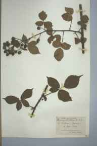 Rubus silvaticus herbarium specimen from Tintern, VC35 Monmouthshire in 1891 by Rev William Moyle Rogers.