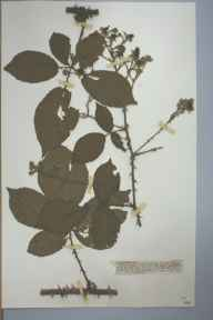 Rubus rhodanthus herbarium specimen from Walton Common, VC17 Surrey in 1906 by Mr Anthony Hurt Wolley Dod.