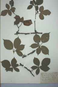 Rubus rhodanthus herbarium specimen from Witley, VC17 Surrey in 1890 by Rev William Moyle Rogers.