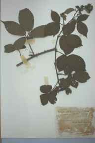 Rubus rhodanthus herbarium specimen from Snaresbrook, VC18 South Essex in 1892 by James Thomas Powell.