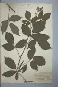 Rubus chloocladus herbarium specimen from Witley, VC17 Surrey in 1891 by Rev William Moyle Rogers.