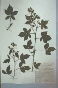 Rubus lentiginosus herbarium specimen from Bangor, VC49 Caernarvonshire in 1895 by Mr John Edwards Griffith.