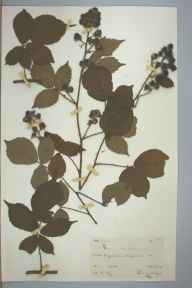 Rubus leyanus herbarium specimen from Hausett Wood, VC36 Herefordshire in 1890 by Rev. Augustin Ley.