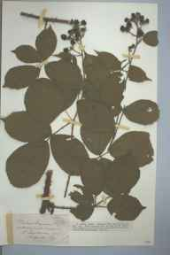 Rubus leyanus herbarium specimen from Rotherwas, VC36 Herefordshire in 1905 by Rev. Augustin Ley.