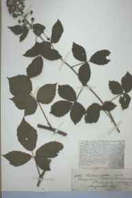 Rubus obscurus herbarium specimen from Sellack, Pengethly, VC36 Herefordshire in 1890 by Rev. Augustin Ley.