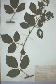 Rubus obscurus herbarium specimen from Sellack, VC36 Herefordshire in 1891 by Rev. Augustin Ley.