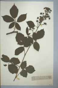 Rubus obscurus herbarium specimen from Sellack, VC36 Herefordshire in 1889 by Rev. William Henry Purchas.