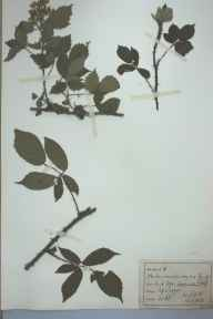Rubus melanoxylon herbarium specimen from Lask Edge, VC39 Staffordshire in 1890 by Rev William Hunt Painter.