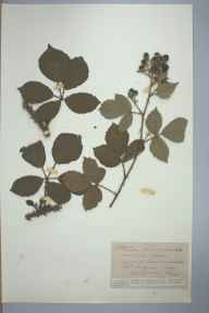 Rubus pascuorum herbarium specimen from Westhope Hill, VC36 Herefordshire in 1900 by Rev. Augustin Ley.
