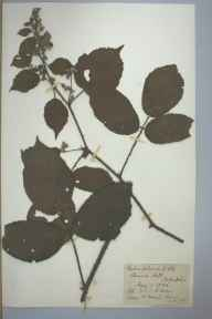 Rubus foliosus herbarium specimen from Chinnor, VC23 Oxfordshire in 1892 by Rev. Daniel Charles Octavius Adams.