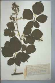 Rubus fuscus herbarium specimen from Welsh Newton, VC36 Herefordshire in 1893 by Rev. Augustin Ley.