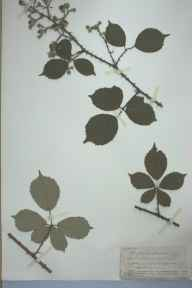 Rubus euanthinus herbarium specimen from Ross, VC36 Herefordshire in 1903 by Rev. Augustin Ley.