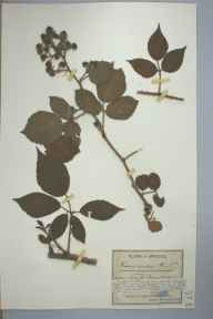 Rubus adornatus herbarium specimen from Sneyd Park, VC34 West Gloucestershire in 1892 by Mr James Walter White.