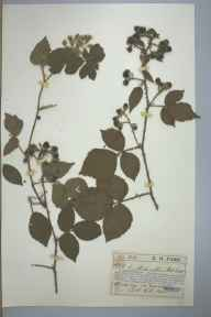Rubus phaeocarpus herbarium specimen from Uckfield, VC14 East Sussex in 1897 by Edward Henry Farr.