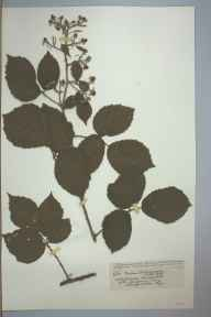 Rubus phaeocarpus herbarium specimen from Whitfield, VC36 Herefordshire in 1902 by Rev. Augustin Ley.