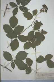 Rubus angusticuspis herbarium specimen from Forest of Dean, VC34 West Gloucestershire in 1899 by Rev. Augustin Ley.