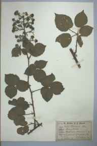 Rubus infestus herbarium specimen from Hartshill, VC38 Warwickshire in 1882 by Mr James Eustace Bagnall.