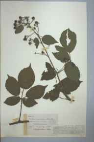 Rubus adenolobus herbarium specimen from Bolstone, VC36 Herefordshire in 1901 by Rev. Augustin Ley.