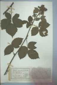 Rubus adenolobus herbarium specimen from holmbush, VC13 West Sussex in 1896 by Mr James Walter White.