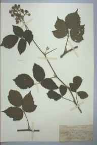 Rubus hirtus herbarium specimen from Bishop's Wood, VC36 Herefordshire in 1887 by Rev. Augustin Ley.