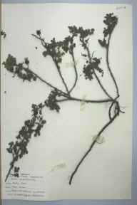 Rosa pimpinellifolia herbarium specimen from Burry Port, VC44 Carmarthenshire in 1959 by Barbara A G Williams.