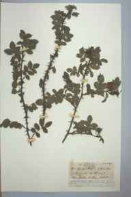 Rosa spinosissima x tomentosa = R. x andrzejowskii herbarium specimen from Clonbur, VCH26 East Mayo in 1896 by Rev. Edward Shearburn Marshall.