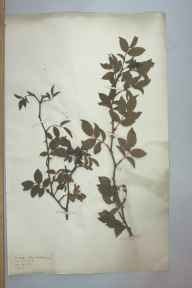 Rosa canina herbarium specimen from Bishport, VC6 North Somerset in 1881.