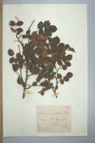 Rosa sherardii herbarium specimen from Kymin Hill, VC35 Monmouthshire in 1891 by Allmanling.