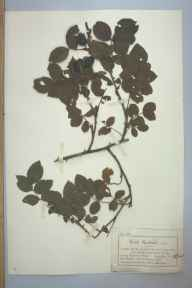 Rosa caesia herbarium specimen from Menai Bridge, VC52 Anglesey in 1884 by Mr Charles Bailey.