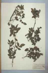 Rosa caesia herbarium specimen from Bishport, VC6 North Somerset in 1881 by Rev William Hunt Painter.