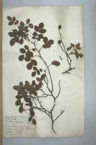 Rosa obtusifolia herbarium specimen from Greenway Bank, VC39 Staffordshire in 1886 by Rev William Hunt Painter.