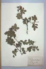 Rosa tomentosa herbarium specimen from Aber, VC49 Caernarvonshire in 1889 by Rev William Hunt Painter.