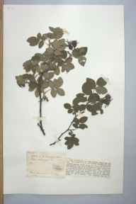 Rosa tomentosa herbarium specimen from Ham Common, VC17 Surrey in 1905 by Mr Anthony Hurt Wolley Dod.