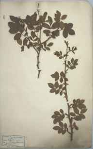 Rosa micrantha herbarium specimen from SaintThomas's Head, Clevedon, VC6 North Somerset in 1881 by Mr James Walter White.