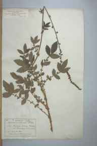 Agrimonia procera herbarium specimen from Downderry, VC2 East Cornwall in 1884 by Mr James Walter White.
