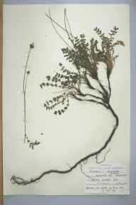 Sanguisorba minor herbarium specimen from Freshwater East, VC45 Pembrokeshire in 1959 by J H Croft.