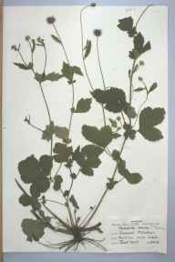 Geum urbanum herbarium specimen from Cramond, VC83 Midlothian in 1959 by Janet Hunt.