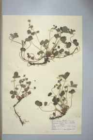 Potentilla sterilis herbarium specimen from Leigh, VC17 Surrey in 1948 by D A J Little (BSBI).