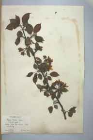 Malus sylvestris herbarium specimen from Cambridge, VC29 Cambridgeshire in 1902 by Prof Richard Henry Yapp.