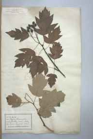 Sorbus torminalis herbarium specimen from Seckley Wood, VC37 Worcestershire in 1875 by Dr John Fraser.